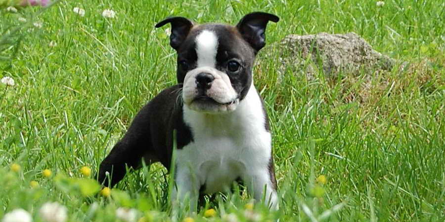 Boston Terrier Puppy Cost