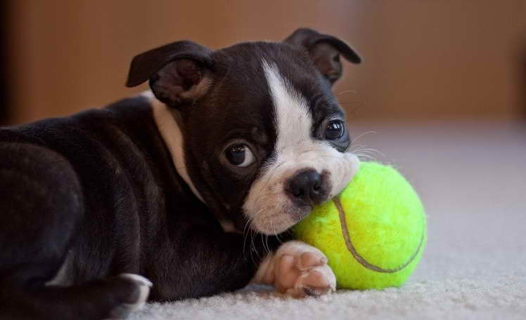 boston terrier dog names boston terrier puppy names pets and dogs 9552
