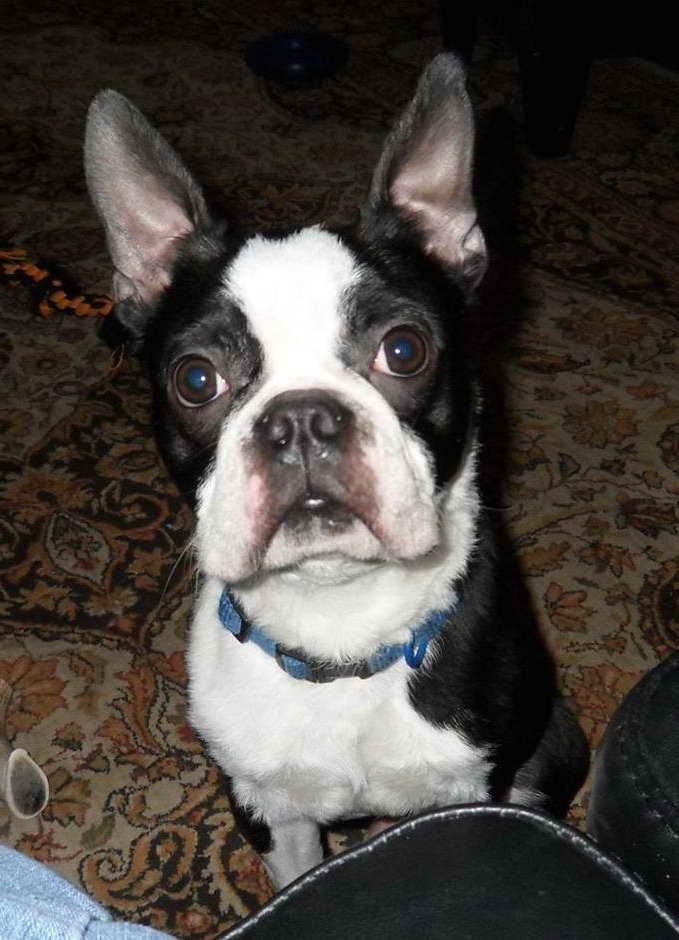 Boston Terrier Rescue Charlotte Nc Petsidi
