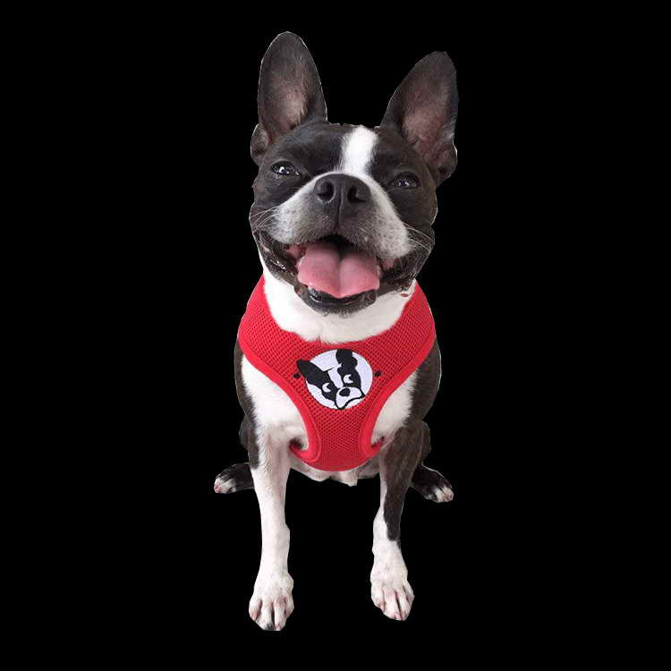 boston terrier rescue fl boston terrier rescue florida pets and dogs 4177