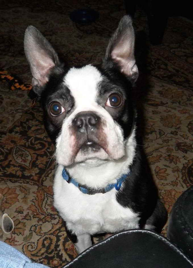new york terrier boston terrier rescue new york pets and dogs 7050