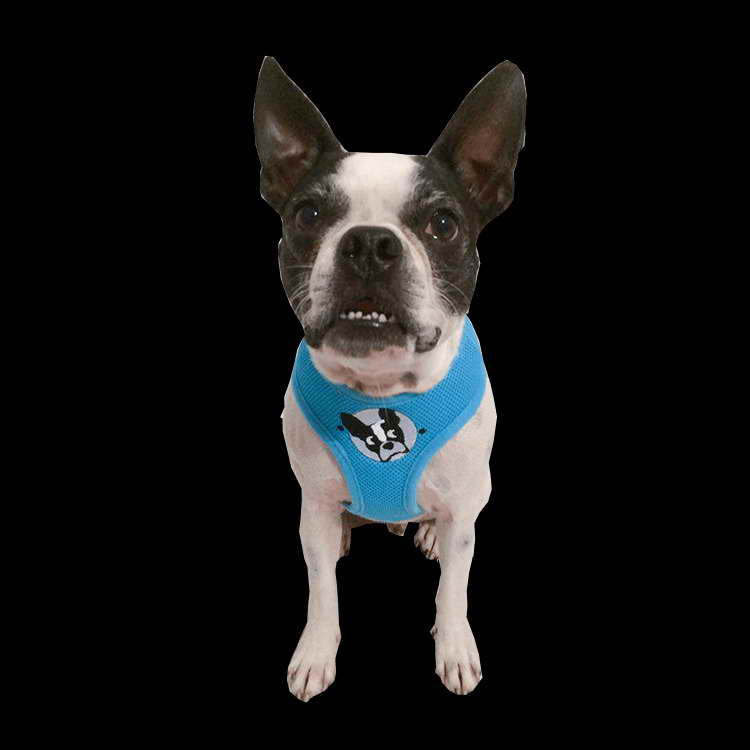 boston terrier rescue fl boston terrier rescue orlando florida pets and dogs 3805