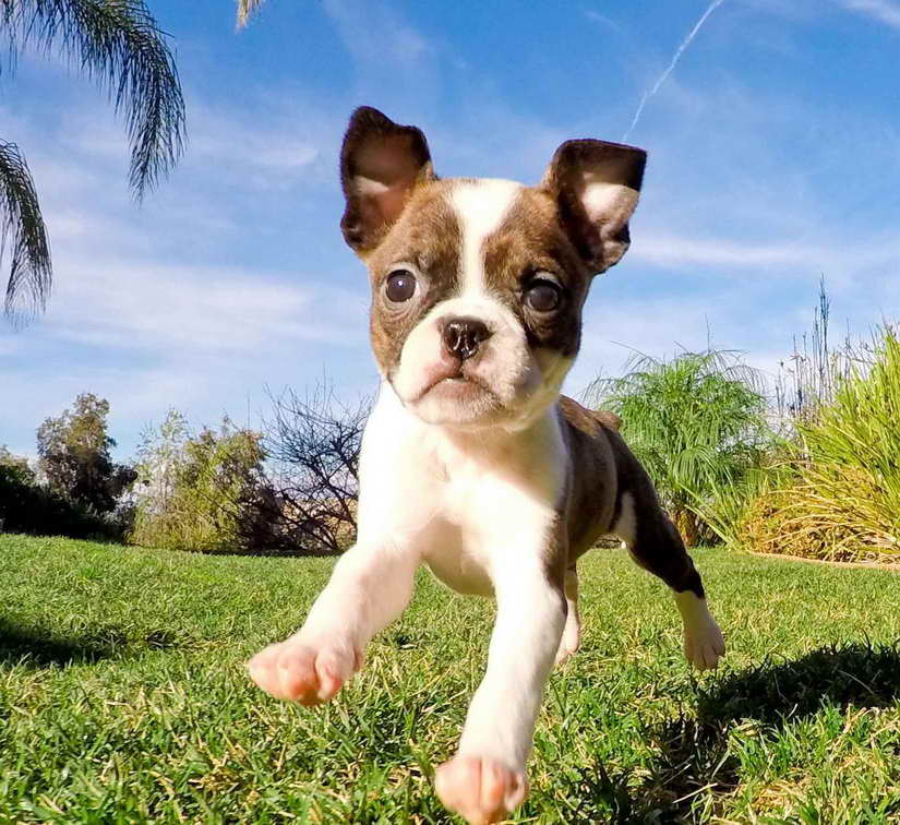 boston terrier san diego boston terrier san diego pets and dogs 6259