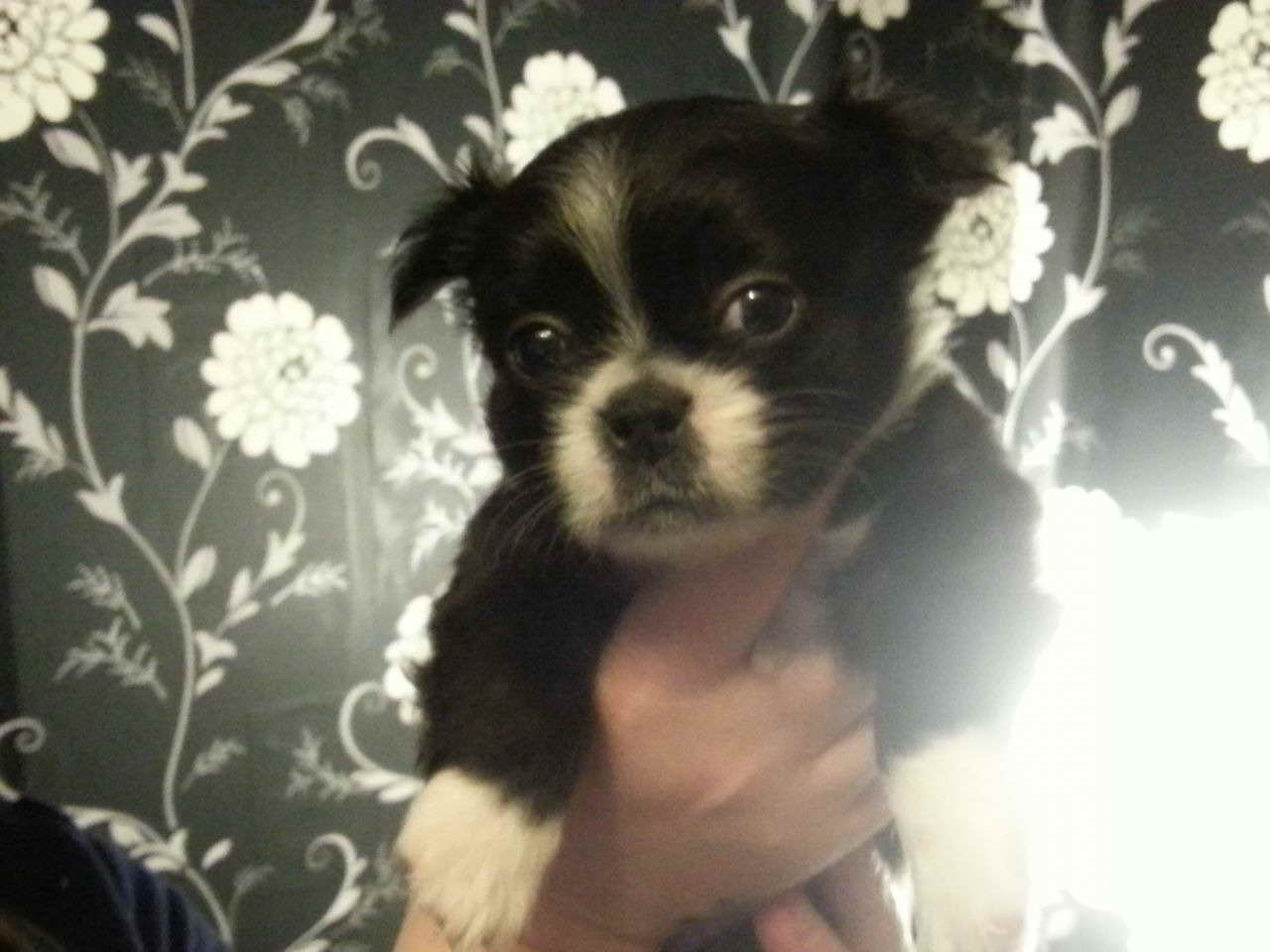 Boston Terrier Shih Tzu Mix Puppies For