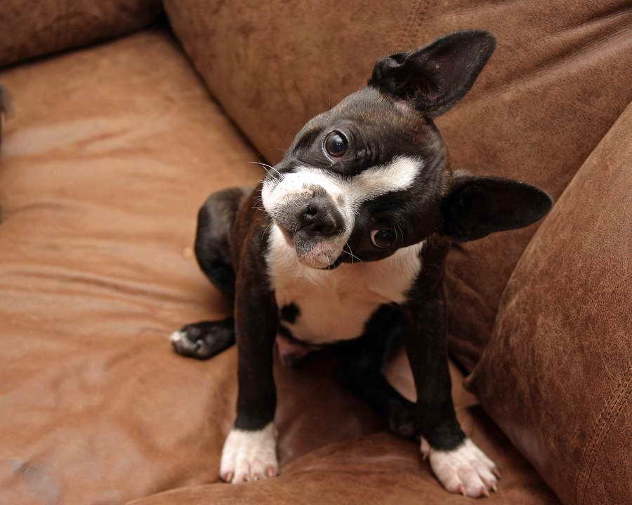 Boston Terrier Training