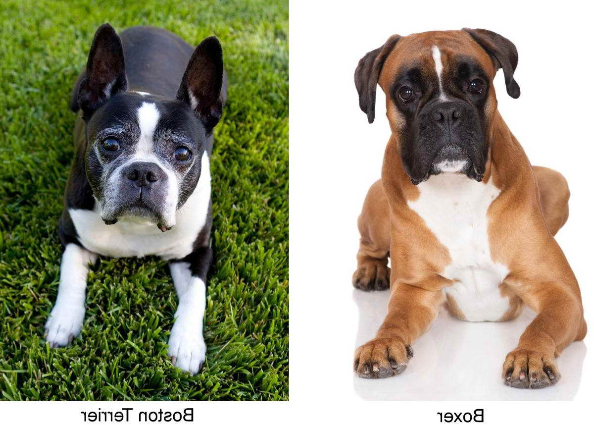 boxer and boston terrier mix boxer boston terrier mix pets and dogs 1790