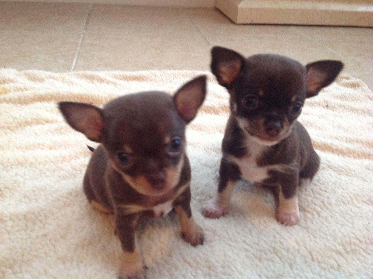 Chihuahua Puppies For Sale Kakamega Kenya
