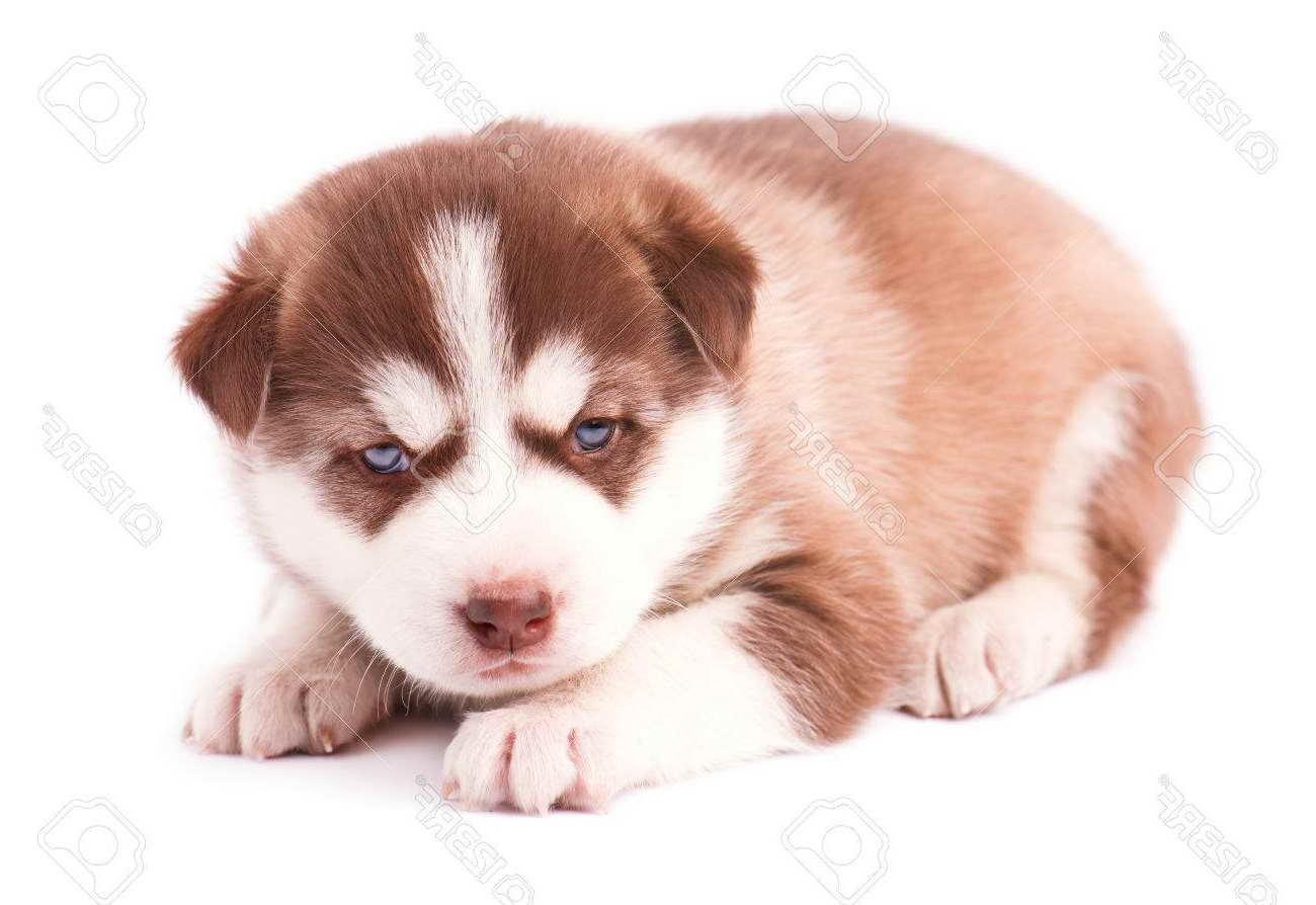 Brown Husky Puppy With Blue Eyes Petsidi