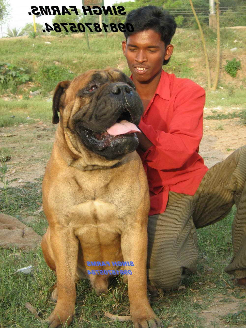 Bull Mastiff Dog Price – Pets and Dogs