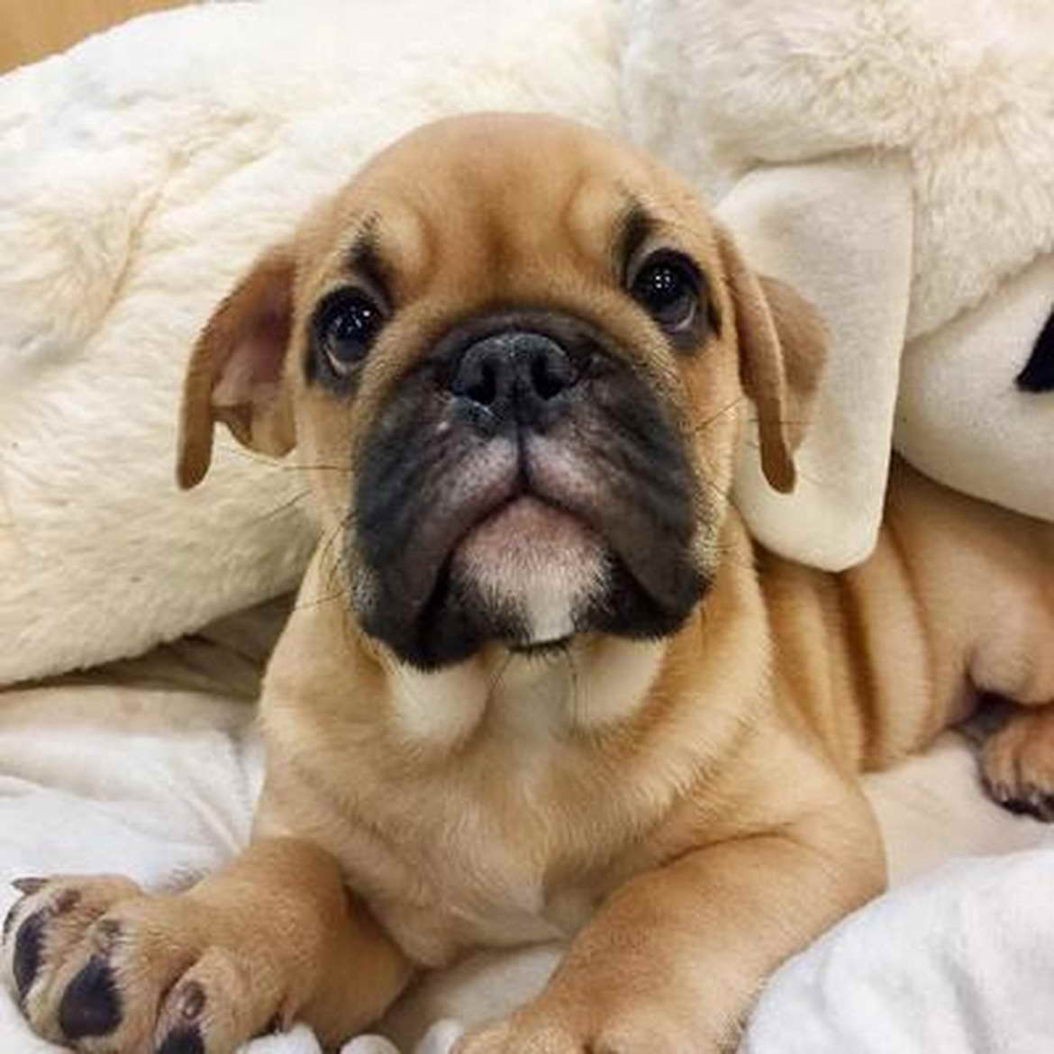 Buy Puppies Pug For Sale In South Australia