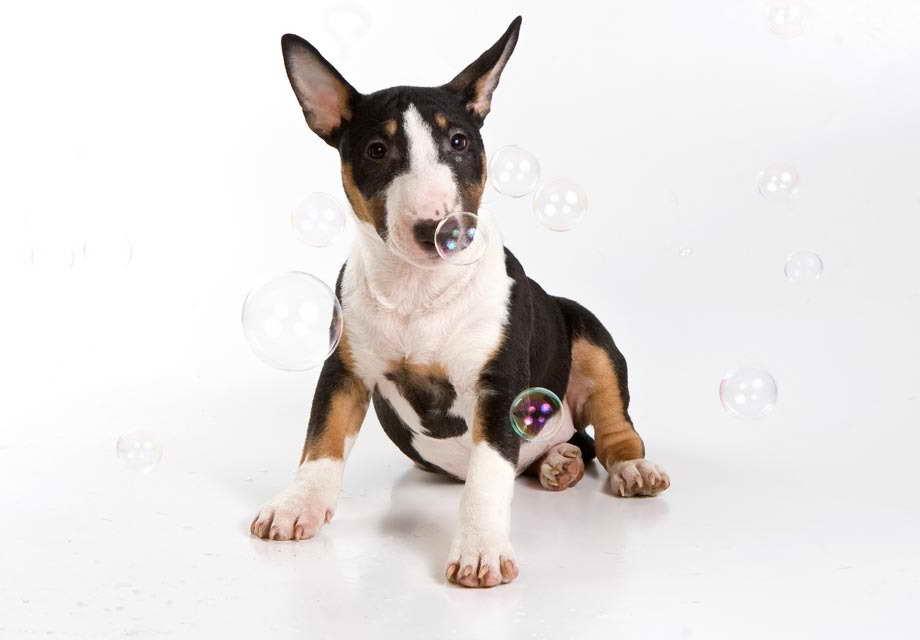 Bull Terrier Craigslist Petsidi