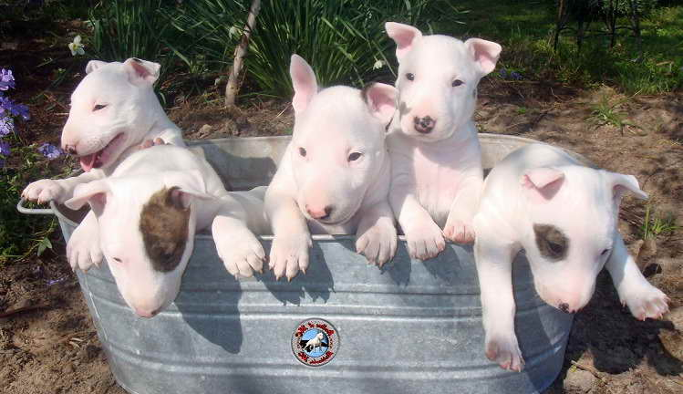 Bull Terrier Puppies For Sale In Nc Pets And Dogs