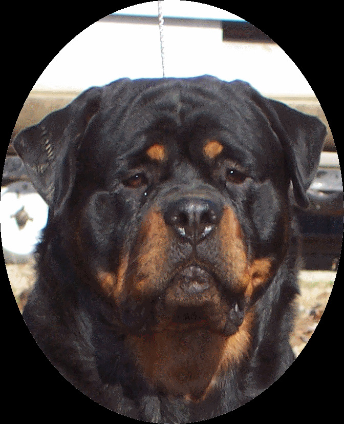 Bullmastiff Rottweiler Mix Puppies For Sale Goldenacresdogscom