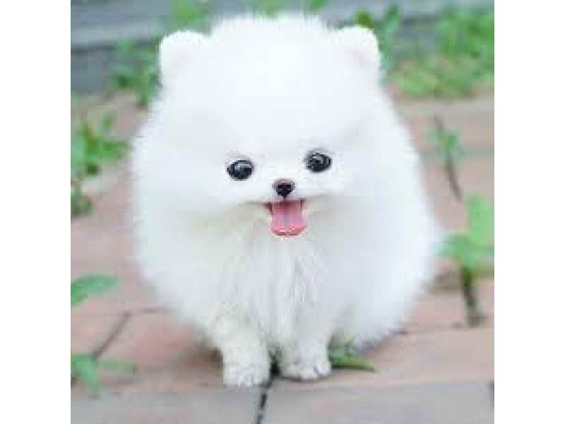 buy pomeranian buy pomeranian husky pets and dogs 9505