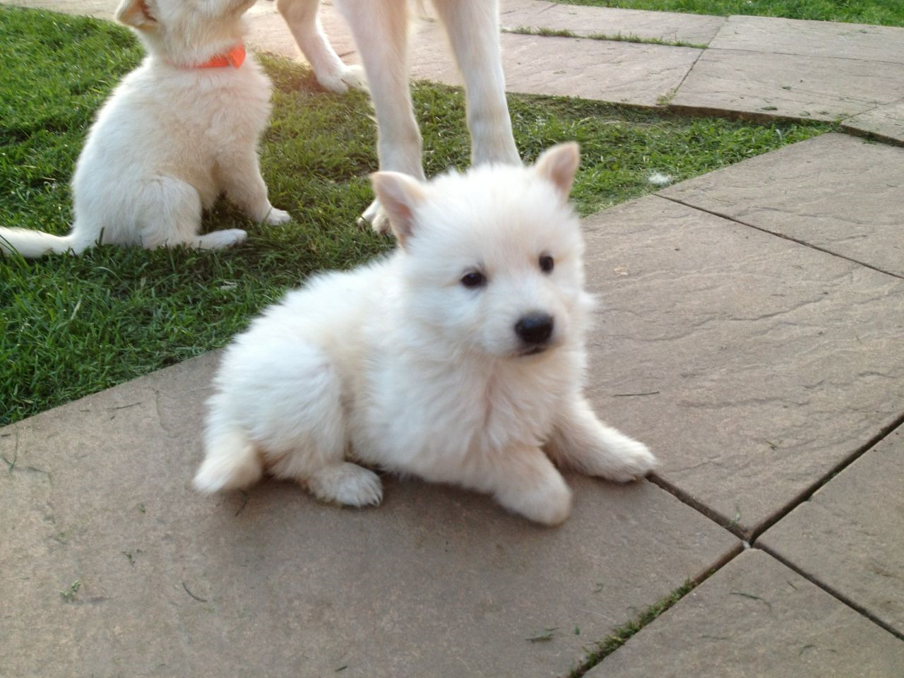 buy white german shepherd puppy pets and dogs