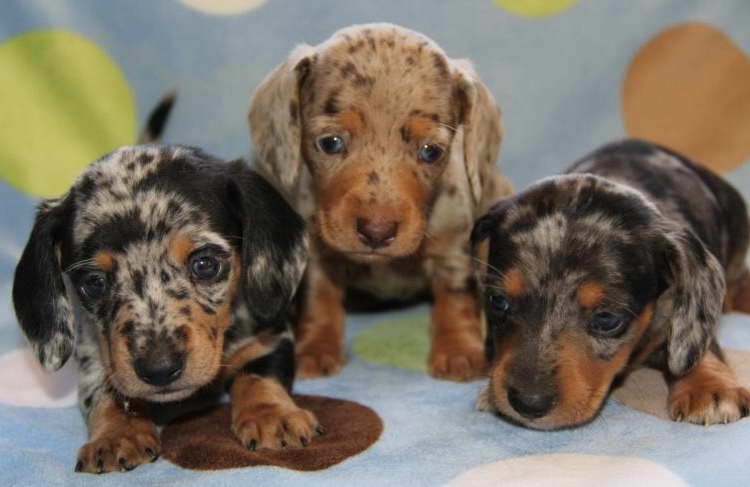 Brindle Dachshund Puppies For