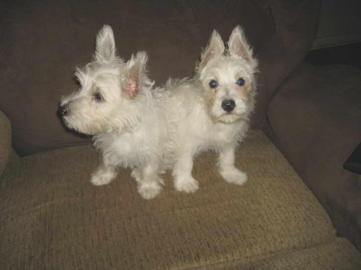 Cairn Terrier Puppies For Sale In Nj Petsidi