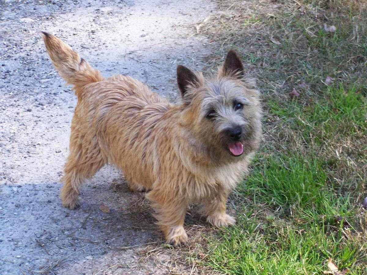 Cairn Terrier Puppies For Sale Michigan