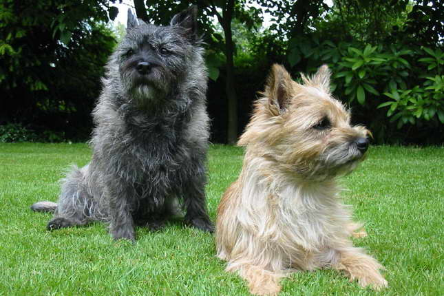 Cairn Terrier Puppies For Sale Near Me | Pets and Dogs