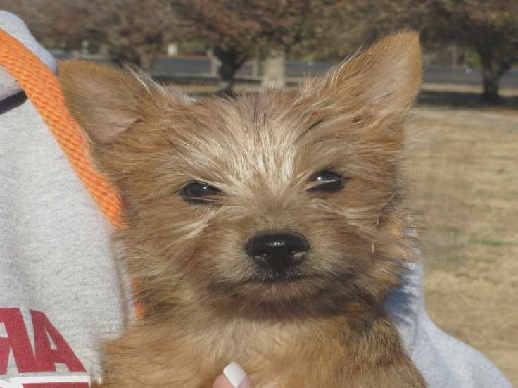 Cairn Terrier Rescue Nc Petsidi