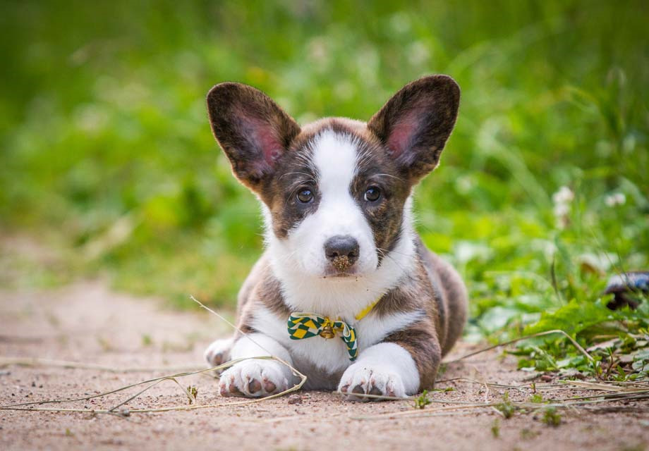 Cardigan Welsh Corgi Puppies For Sale In Ohio   Pets and Dogs