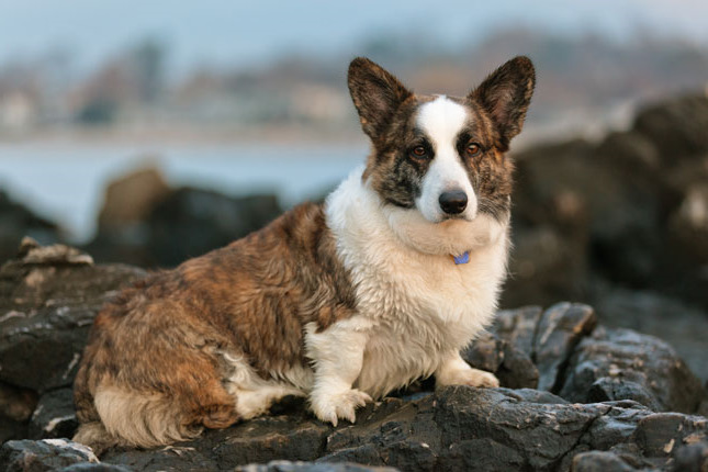 Cardigan Welsh Corgi Puppies For Sale Price Pets And Dogs