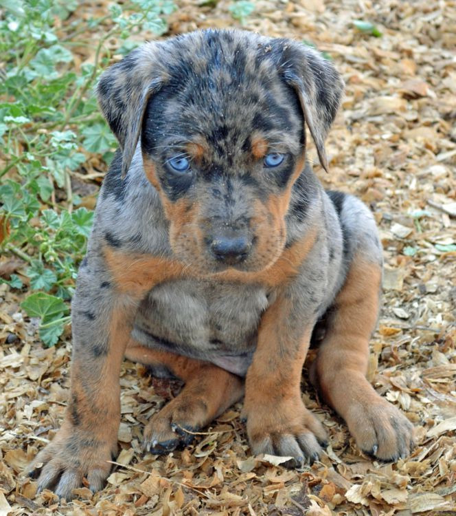 Catahoula Leopard Cur Puppies For Sale
