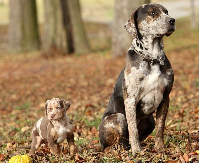 Catahoula Leopard Dog Behavior