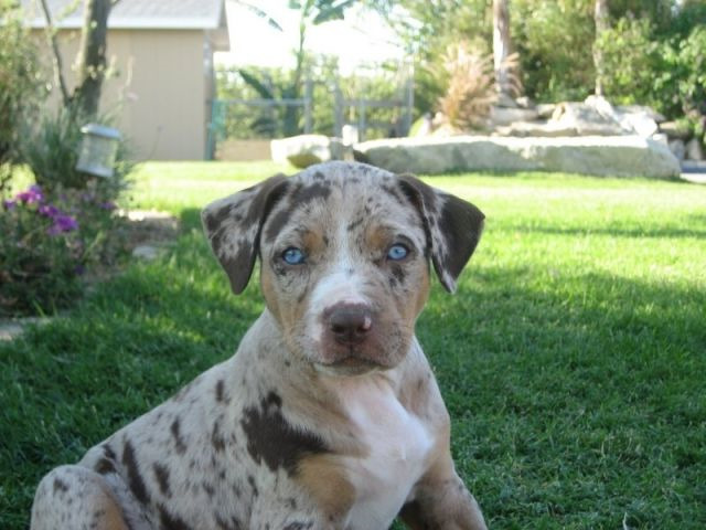Mork Catahoula Leopard Dog Adoption Rescue In Fort