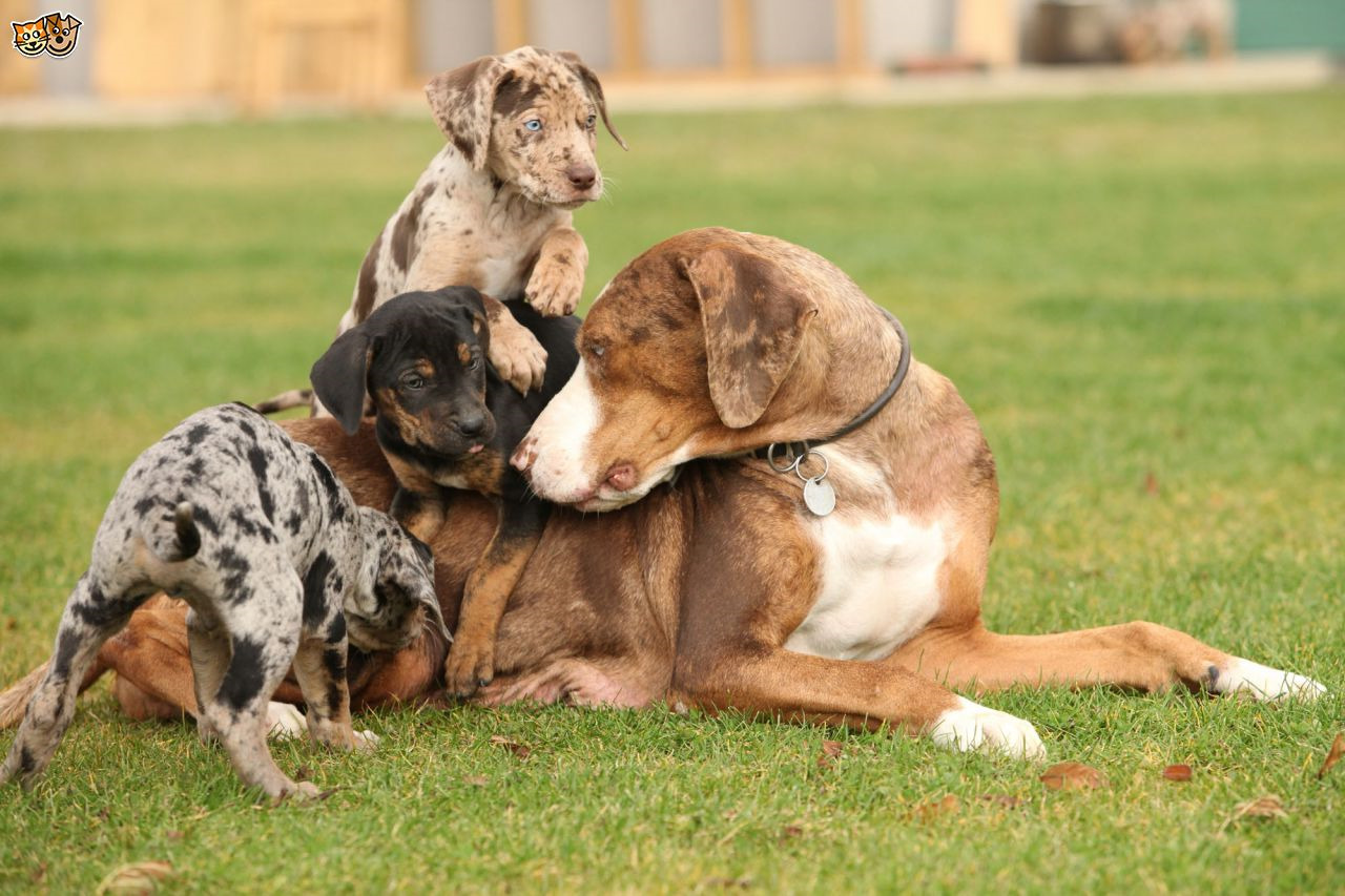 Catahoula Leopard Puppies For Sale In Florida
