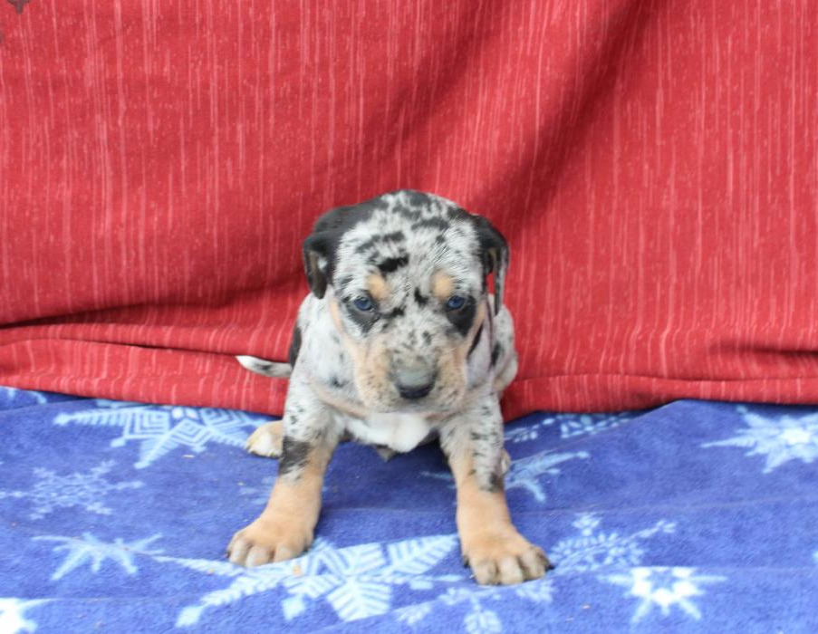 Catahoula Puppies For Sale Craigslist Pets And Dogs