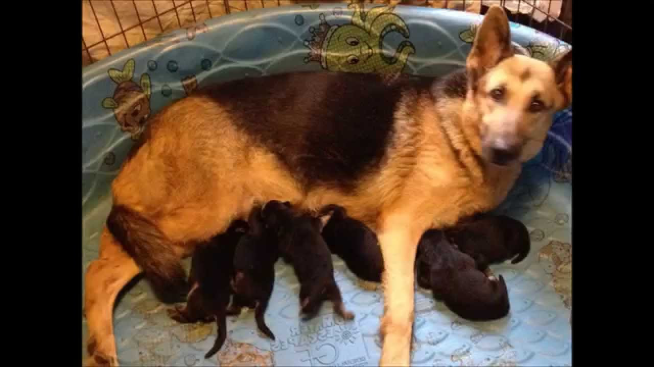 cheap german shepherd puppies cheap german shepherd puppies for sale in florida pets 6508