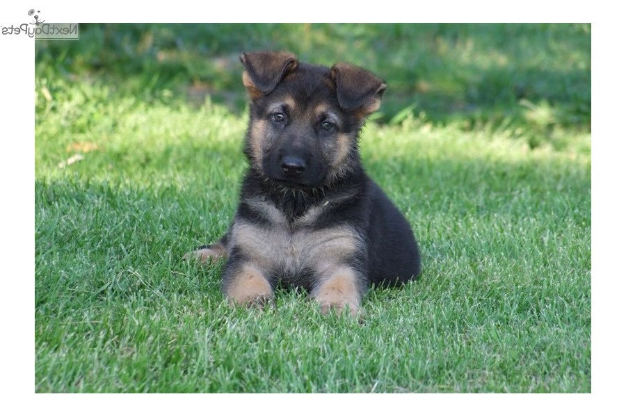 cheap german shepherd puppies cheap german shepherd puppies for sale near me pets and dogs 2784