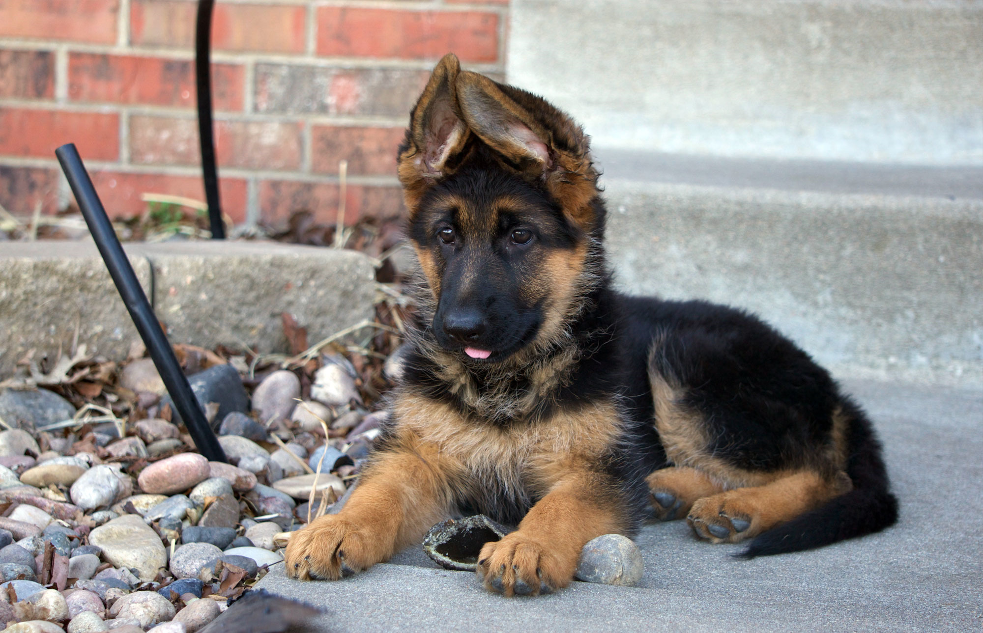 cheap german shepherd puppies cheap german shepherd puppies for sale pets and dogs 7888