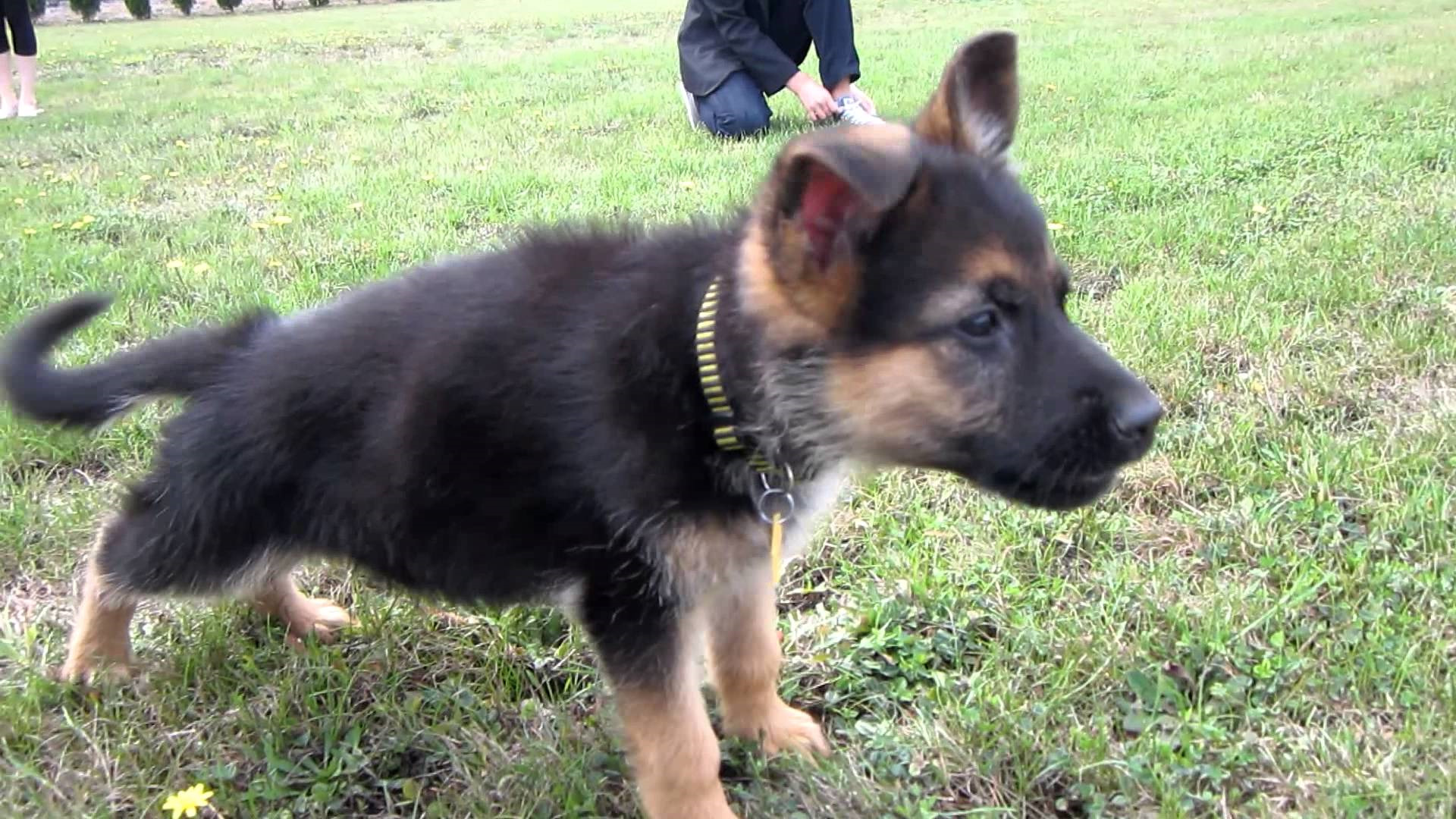cheap german shepherd puppies cheap german shepherd puppies pets and dogs 2983