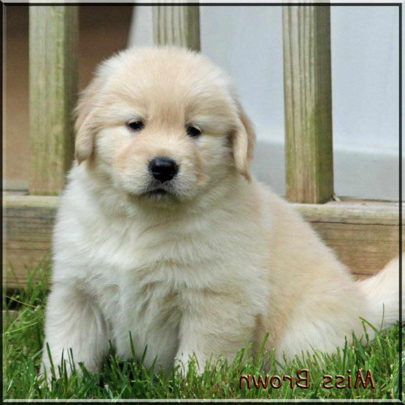 Cheap Golden Retriever Puppies Near Me | PETSIDI