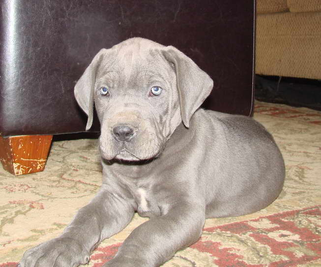 Blue Harlequin Great Dane Puppies