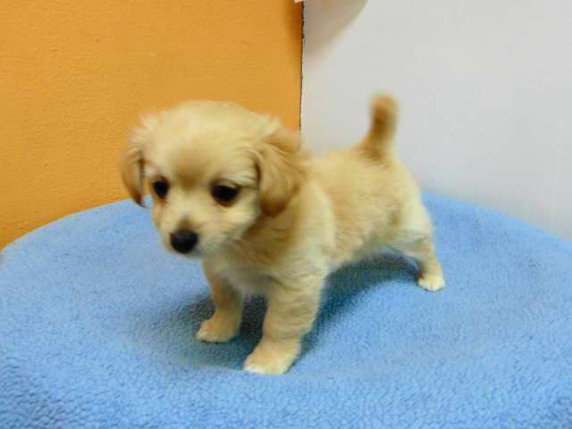 Chihuahua And Pomeranian Mix Puppies For Sale Pets And Dogs