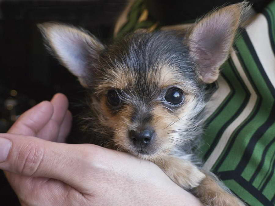 yorkie chihuahua mix for sale chihuahua and yorkie mix for sale pets and dogs 9760