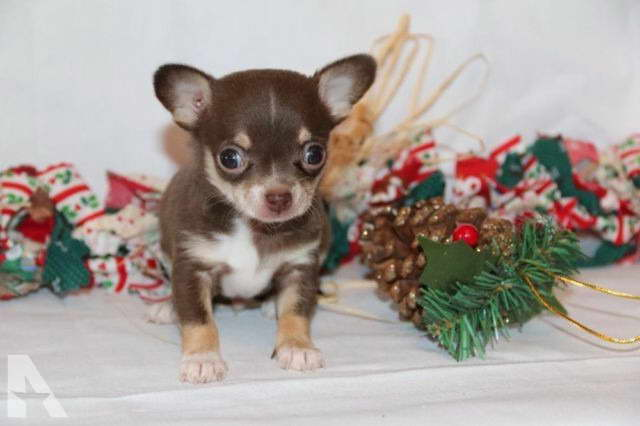 chihuahua puppies michigan chihuahua breeders in michigan pets and dogs 107