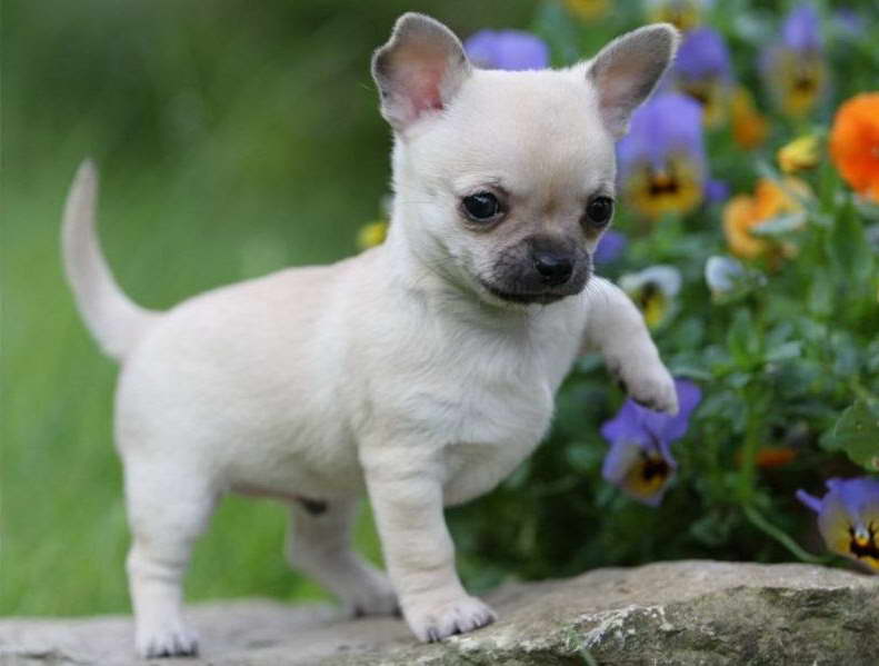 how much does a chihuahua cost chihuahua cost pets and dogs 9467