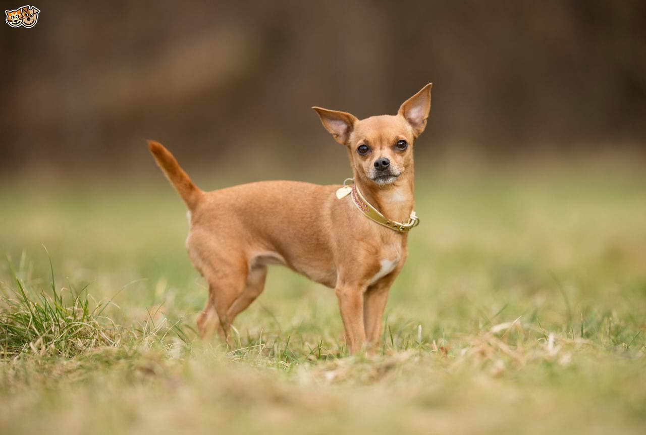 Chihuahua Dog Breeds Pets And Dogs