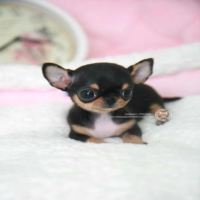 chihuahua puppies michigan chihuahua for sale in michigan pets and dogs 2729