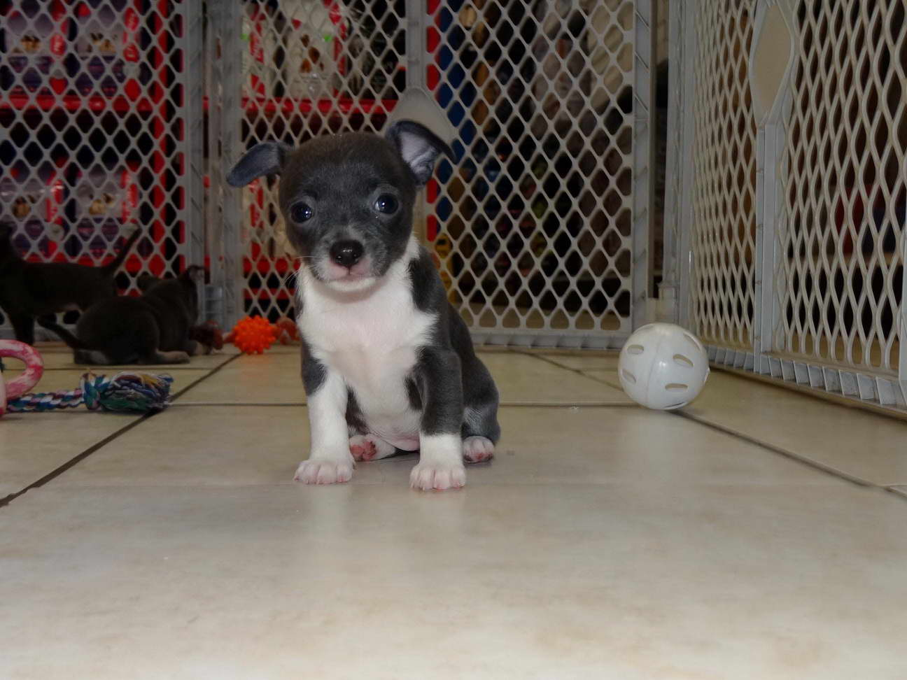 chihuahua for sale in va chihuahua for sale in va pets and dogs 6802