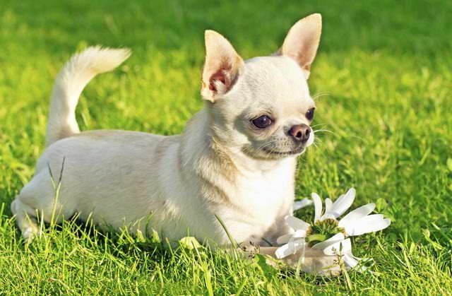 are chihuahua hypoallergenic chihuahua hypoallergenic pets and dogs 1647