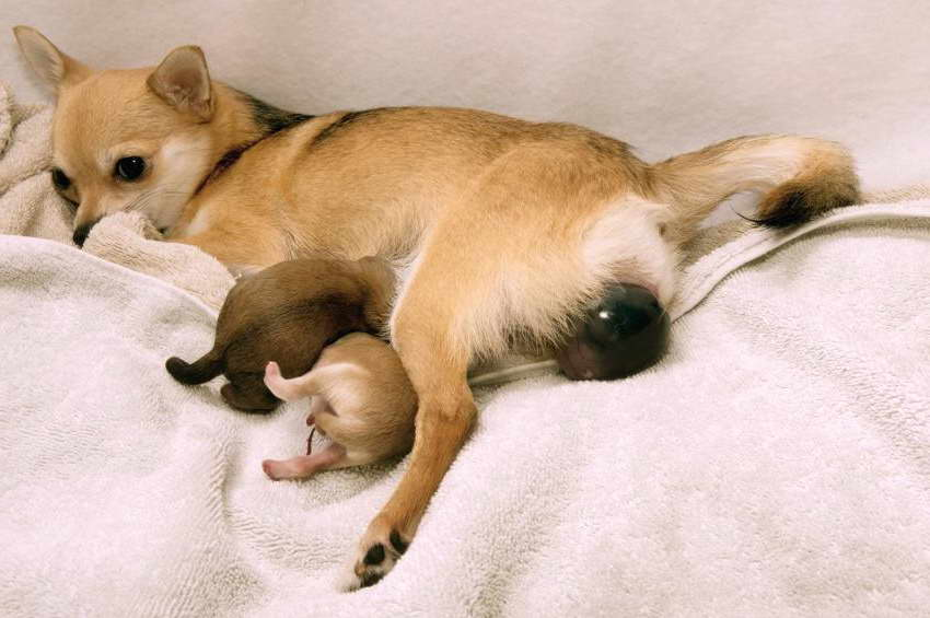 Chihuahua Labor Pets And Dogs