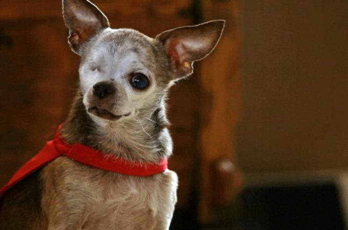 life expectancy of chihuahua chihuahua life expectancy pets and dogs 1602