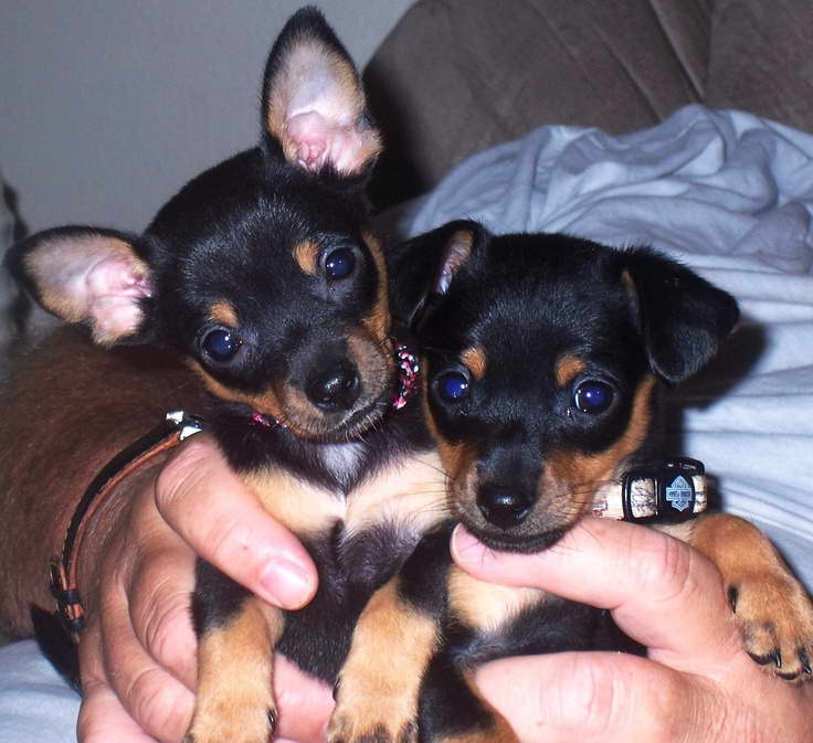 Chihuahua Min Pin Mix Puppies For