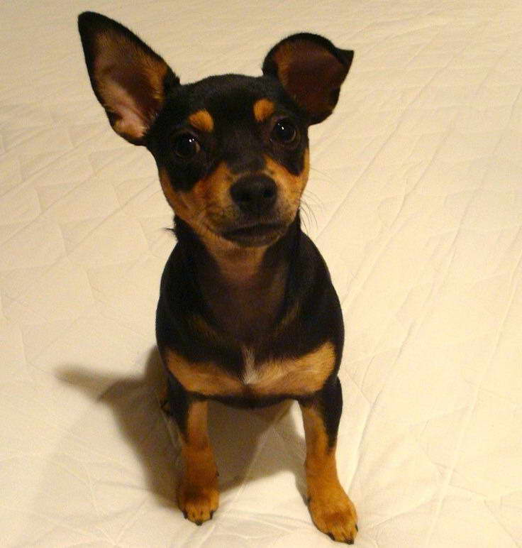 min pin chihuahua mix puppies for sale chihuahua miniature pinscher mix for sale pets and dogs 4045