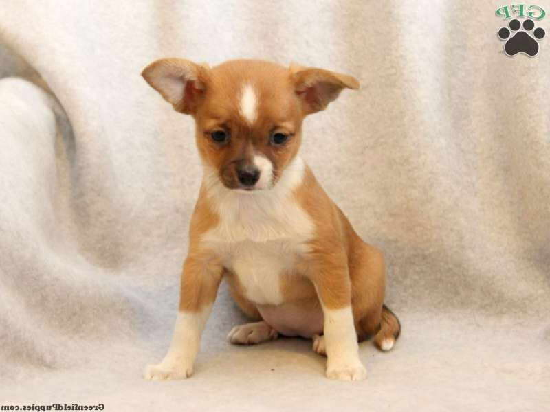 chihuahua for sale in pa chihuahua mix puppies for sale in pa pets and dogs 5271